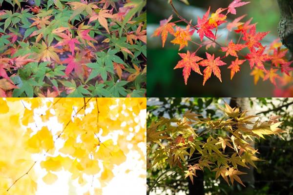 紅葉・楓・銀杏などの無料風景写真素材
